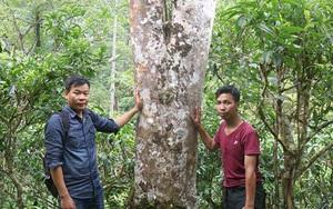 """Hà Giang: Loài cây thân to như cột đình, trèo lên hái lộc đem """"rang"""" lên rồi bán đắt tiền, bán cả sang Tây"""
