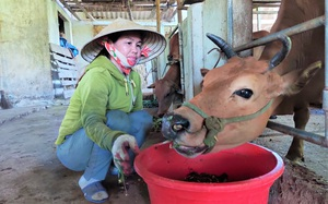 Nông dân Hà Tĩnh nuôi bò vỗ béo: Nghề thu lãi cao