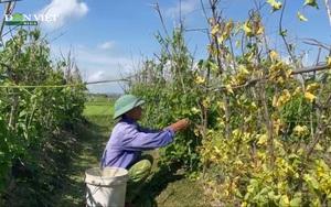 Nghệ An: Nắng gắt khiến hoa thiên lý chết rũ ngoài đồng, nông dân thất thu tiền tỷ