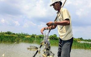 Bạc Liêu: Ở nơi này nông dân cho tôm sú chung nhà với cá rô phi, cả 2 con đều khỏe, nuôi đâu trúng đó