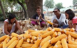 Giá thức ăn chăn nuôi tăng chóng mặt, nhiều nước cho phép nhập ngô biến đổi gen của Mỹ để hạ nhiệt