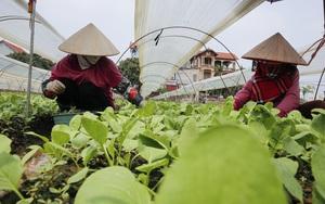 """Nông dân ngọai thành Hà Nội: """"Chúng tôi luôn có sẵn rau để bán cho mọi người"""""""