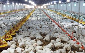 Giá gia cầm hôm nay 20/7: Giá gà công nghiệp miền Nam vẫn ở mức thấp, giá vịt miền Bắc chững lại