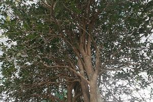 Loài cây dại mà lại có giá đắt không tưởng, có mùi hương độc đáo khiến dân tình xôn xao lùng mua