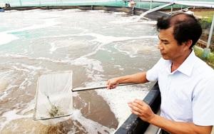 Cà Mau và Bạc Liêu: Nuôi tôm công nghệ cao, nông dân, doanh nghiệp đang lao đao