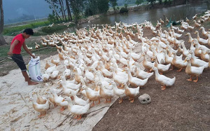 Giá gia cầm hôm nay 21/7: Thương lái thu mua dè dặt, người nuôi gà, vịt lo lắng