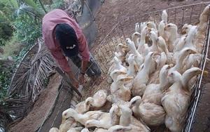 Giá gia cầm hôm nay 22/7: Cập nhật giá gà, vịt mới nhất tại các vùng, giá vịt miền Bắc nhích lên