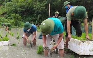 Nghệ  An: Các lực lượng tham gia nhổ mạ và cấy lúa giúp dân nơi tâm dịch Chằm Puông
