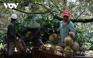 """Siết chặt lao động ngoại tỉnh tớiĐắk Lắkkhi vào mùa của loại quả """"hái ra tiền"""""""
