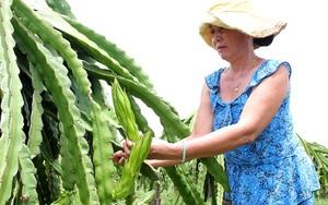 Lo rủi ro, người trồng thanh long Bình Thuận đành lặt búp, bẻ nụ phơi khô bán cho Trung Quốc