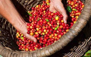 Giá nông sản hôm nay 23/7: Tiêu giảm nhẹ, cà phê tăng sốc