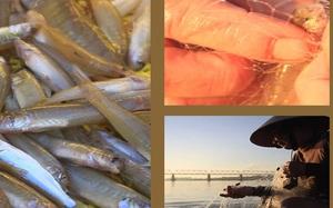 Quảng Ngãi: Vui mùa cá bống Sông Trà, ngư dân thu về ngót triệu mỗi chuyến