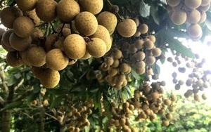 Nhãn hữu cơ Sông Mã tham gia chuỗi giá trị nông sản toàn cầu