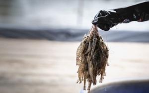 Nữ hoàng cá tra Vĩnh Hoàn rót vốn vào startup sản xuất thịt tôm nhân tạo tại Singapore