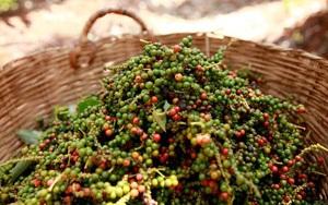 Giá nông sản hôm nay (25/7):Tiêu giảm rải rác, cà phê liên tục đi lên, dự đoán đà tăng chưa dừng lại