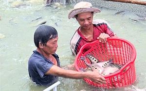 Hậu Giang: Đến khổ, cá thát lát dù có là hàng đặc sản nhưng gặp dịch Covid-19 cũng ùn ứ, mất giá