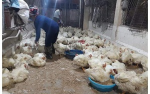 Giá gia cầm hôm nay 26/7: Gà công nghiệp mỗi nơi một giá, nhiều trại gà đặc sản ế ẩm