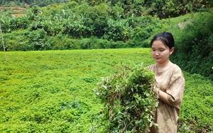 Cao Bằng: Trồng la liệt loài cây như rau dại, cô đặc thành thứ ăn đến đâu mát đến đó, thu hàng chục tỷ