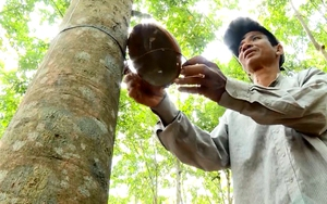Bình Phước: Nông dân trồng cao su tiểu điền tạm ngưng cạo mủ để cùng chống dịch