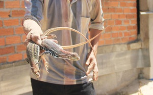 """Ninh Thuận: Nuôi con nhìn như con rắn thằn lằn, chạy rõ nhanh, bán làm đặc sản, bắt con nào lái cũng """"khuân sạch"""""""