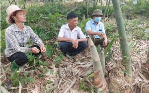 Yên Bái: Loài cây tới mùa mọc mầm mập mạp, đội đất chui lên mang về cho dân vùng này hàng tỷ đồng