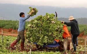 Lâm Đồng: Xót xa nông dân vứt bỏ rau, hoa vì càng bán càng lỗ nặng