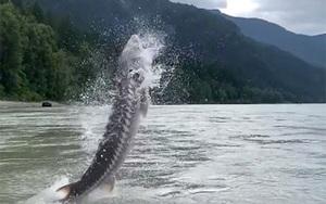 """Hội cần thủ sốc nặng khi câu được """"quái vật"""" được mệnh danh là khủng long sống nặng 158kg bật nhảy khỏi mặt nước"""