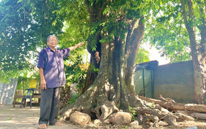 Quảng Bình: Vùng đất những cây thị cổ thụ bên sông Son, gốc che chở người dân, trái vang danh đặc sản