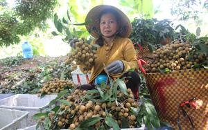 Đồng Tháp, Sóc Trăng lo tiêu thụ 80.000 tấn nhãn, nông dân muốn đưa lên sàn, vào siêu thị