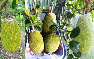 Cập nhật giá mít Thái hôm nay 30/7: Giá mít tiếp tục tăng, nông sản tiếp tục thông thương, nông dân mừng hơn