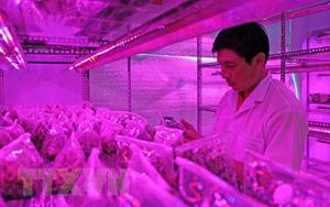 Hoa lan đột biến: Ở Lâm Đồng chiếu xạ gây đột biến được cả cây hoa lan giả hạc quý hiếm