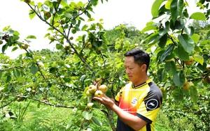 Lào Cai: Vùng đất những cây lê thấp tè đã ra trái quá trời, vườn đẹp như phim, ai cũng muốn vào