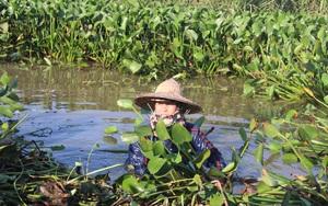 """Nông dân Hà Tĩnh thu lợi từ loài cây trước đây chỉ làm thức ăn cho gia súc, nay lại trở thành hàng """"xuất ngoại"""""""