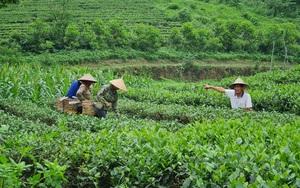 Supe Lâm Thao: Khẳng định thương hiệu trên những luống chè