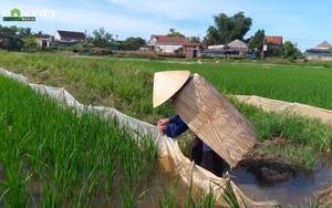 Hà Tĩnh: Nông dân làm bờ rào ruộng bằng túi ni lông để ngăn chuột phá lúa