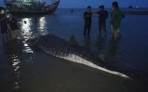 Clip nóng: Phát hiện cá lạ nặng hơn một tấn trôi dạt vào bãi biển ở Nghệ An