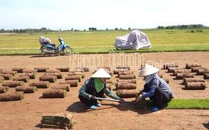 """Nam Định: Ở nơi này nông dân trồng cỏ xúc bán cả cuộn gọi là nghề """"một vốn bốn lời"""""""