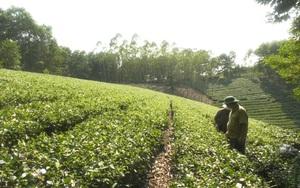"""Ngoài chè Suối Giàng là """"đỉnh của chóp"""", tỉnh Yên Bái còn có loại chè gì mà nông dân thu hơn chục tỷ mỗi năm?"""