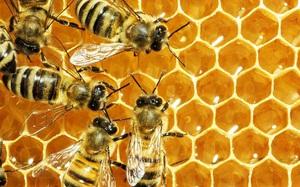 Hậu Giang: Làm giàu từ nghề nuôi ong lấy mật thuận theo thiên nhiên