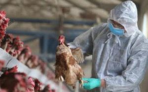 Hòa Bình: Tiêu hủy đàn gà hơn 5.000 con mà không xác định được nguồn lây dịch cúm gia cầm A/H5N8 ở đâu
