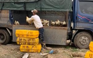 Giá gia cầm hôm nay 1/8: Giá gà thịt xuống thấp, khó bán, có nơi đốt bỏ hàng triệu con giống
