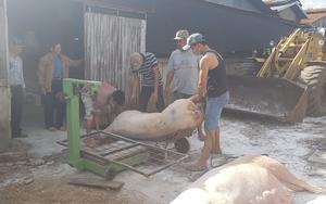 Lâm Đồng: Huyện Di Linh đang tổ chức dập khẩn trương ổ dịch tả heo châu Phi khiến 68 con lợn bị chết