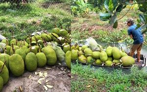 Giá mít Thái hôm nay 1/8: Giá mít tăng mạnh, có nơi bán 27.000 đồng/kg, lái mít gắng vào vườn gom từng trái