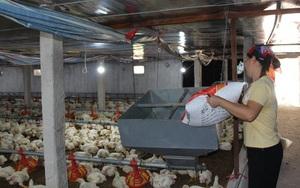 Giá gia cầm hôm nay 10/8: Giá gà công nghiệp tăng nhẹ, giá gà ta thả vườn có xu hướng giảm
