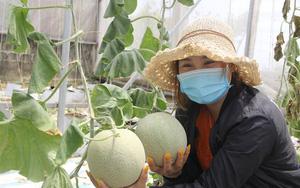 Thanh niên 9X Hà Tĩnh về quê khởi nghiệp trồng dưa lưới trong nhà màng thu hàng trăm triệu mỗi năm
