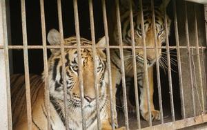 """Vụ """"thu giữ"""" hổ ở Nghệ An: Cần nhìn toàn bộ vấn đề, không chỉ dừng lại ở câu chuyện hổ chết"""