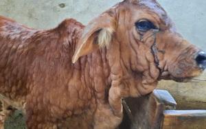 Gia Lai: Hơn 15.000 con bò mắc viêm da nổi cục, khẩn trương tiêm 40.000 liều vắc xin phòng bệnh