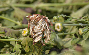 Xót xa với hình ảnh hoa vứt chỏng chơ, bị cắt bỏ vì dịch bệnh Covid-19 tại thủ phủ hoa lớn nhất Hà Nội
