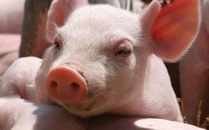 Giá nông sản hôm nay 14/8: Hồ tiêu nối dài đà tăng, lợn hơi điều chỉnh trái chiều