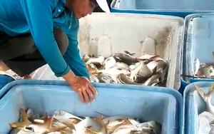 """Bà Rịa-Vũng Tàu: Nông dân khốn khổ """"ôm"""" 400 tấn cá đặc sản quá lứa, không bán được vì thiếu mỗi giấy này"""